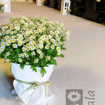 matrimonio fiori camomilla